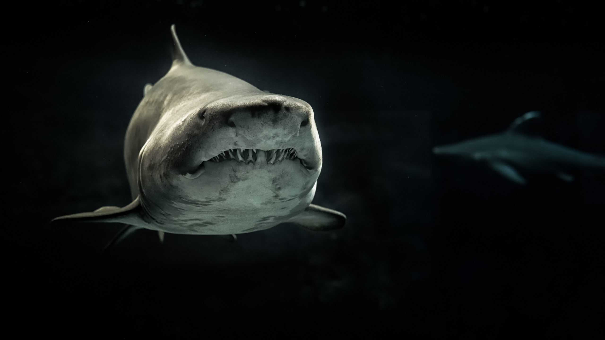 Requin animal totem